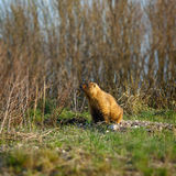 Marmot in  spring meadow Royalty Free Stock Photos