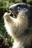 Marmot standing and eating a piece of bread Royalty Free Stock Photo