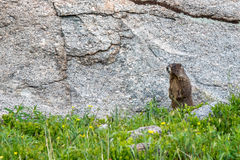 Marmot standing on grass in front of a rock Stock Photos