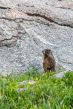 Marmot standing on grass in front of a rock Stock Image