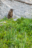 Marmot standing on grass in front of a rock Stock Images