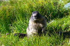 Marmot standing on hind legs in the grass. And looking forward Royalty Free Stock Image