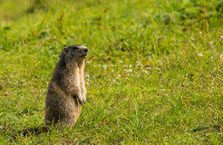 Marmot standing in a meadow Stock Photo