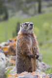 Marmot standing up looking curious. Marmot standing looking for intruders Stock Photo