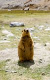 A Marmot standing upright on its hind legs. An endangered species called Marmot standing upright on the hind legs, in the valleys of North Western Ladakh Stock Image