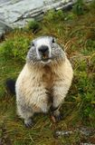Marmot standing Royalty Free Stock Photography