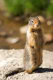 Marmot status Stock Afbeelding