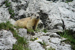 Marmot on stone in the mountains Stock Photos