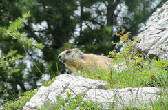 Marmot on stone in the mountains Royalty Free Stock Images