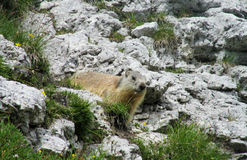 Marmot on stone in the mountains Royalty Free Stock Image