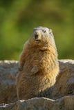 Marmot on a stone Stock Image