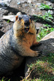 Marmot on stone Stock Photos