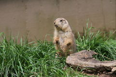Marmot stood in a ridiculous position Royalty Free Stock Photography