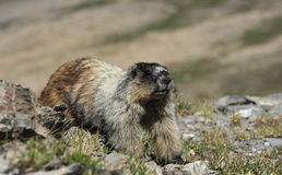 Marmot Stretch Royalty Free Stock Photo