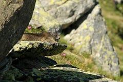 Marmot at the sun. A marmot on a rock sitting at the sun Stock Photos