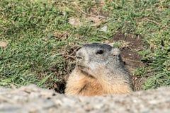 Marmot in the sun Stock Photos