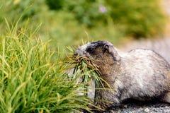 Marmot sur la patrouille photo stock