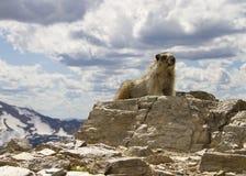 Marmot sur une montagne Photos libres de droits