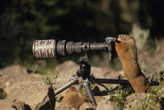 Marmot Taking a Photo. A marmot up on a camera taking a photo Royalty Free Stock Photos