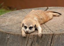 Marmot on a tree-stump Stock Image
