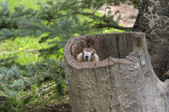 Marmot in tree stump. Marmot peeking his head out of a tree stump Royalty Free Stock Images