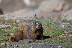 Marmot on the Tundra Stock Image