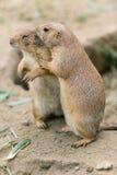 Marmot twee Stock Afbeelding