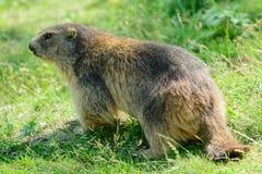 Marmot van de Alpen Stock Afbeelding