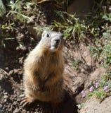 Marmot van de baby de Gele Buik Royalty-vrije Stock Foto