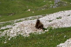 Marmot sitting and looking into the camera Royalty Free Stock Image