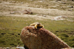 A marmot on the way to Pangong Lake in Ladakh, India Stock Image