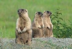 Marmot in weide Royalty-vrije Stock Afbeeldingen