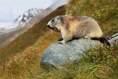 Marmot whistling Stock Photography