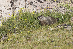 Marmot wildflowers rocks mountains Royalty Free Stock Images