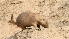 Marmot in a wildlife park stock video footage