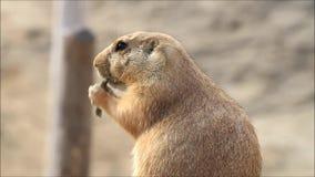 Marmot in a wildlife park stock footage