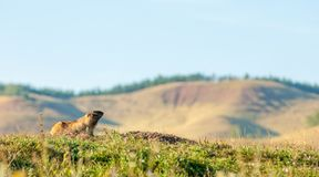 Marmot, woodchuck. A heavily built, gregarious, burrowing rodent of both Eurasia and North America, typically living in mountainous country stock photography