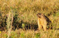 Marmot, woodchuck. A heavily built, gregarious, burrowing rodent of both Eurasia and North America, typically living in mountainous country royalty free stock photos