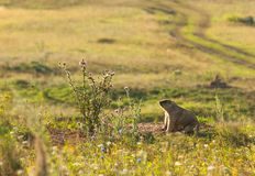 Marmot, woodchuck. A heavily built, gregarious, burrowing rodent of both Eurasia and North America, typically living in mountainous country royalty free stock images