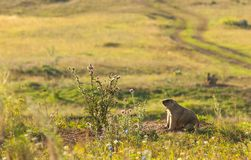 Marmot, woodchuck. A heavily built, gregarious, burrowing rodent of both Eurasia and North America, typically living in mountainous country royalty free stock image