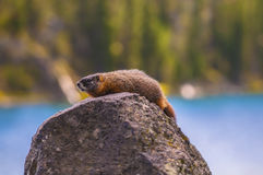 Marmot in Yellowstone Royalty Free Stock Images