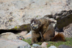 Marmot Yoga. A yelow bellied marmot practicing yoga stretching above timberline stock images