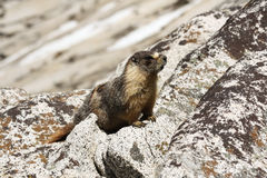 Marmot in Yosemite National Park. Vigilant Marmot on a rock in Tioga Pass at Yosemite National Park stock images