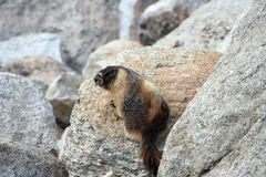 Marmot in Yosemite National Park Stock Image
