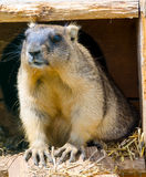 A marmot. In the zoo in Kaluga region Stock Images
