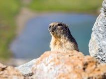 Marmota marmota μαρμοτών που κοιτάζει γύρω στοκ φωτογραφίες με δικαίωμα ελεύθερης χρήσης