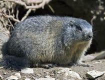 Marmota 1 Foto de Stock