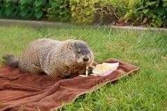 A marmota Imagens de Stock