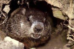 Marmota Imagen de archivo libre de regalías
