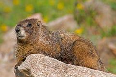 Marmota Foto de Stock